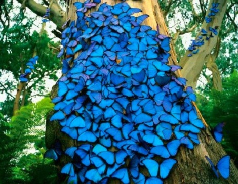 908501__blue-butterflies_p1